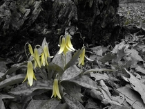 Yellow Trout Lily Erythronium rostratum