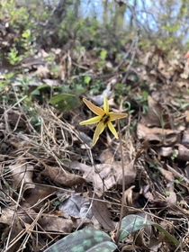 Yellow trout lily found on a trail