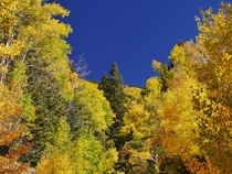Yes the sky is really that blue Aspens in the Sangre de Cristo Mountains near Santa Fe NM