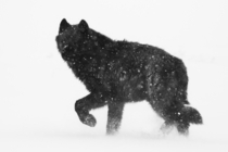 Yesterday this wolf appeared in a blizzard and was gone seconds later