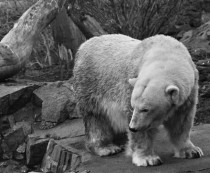 You like bears I like bears Heres the polar bear at Edinburgh Zoo before she got moved to a reserve Ursus maritimus