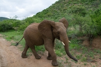 Young African elephant Came very close