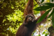 Young alpha orangutan in Borneo