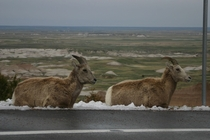 Young Bighorns in Badlands National Park