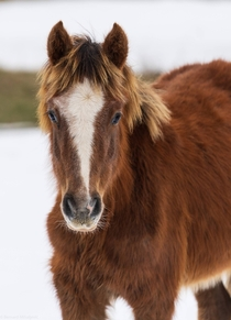 Young blond feral horse from Bosnia in jo winter coat
