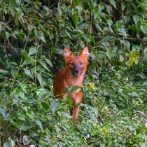 Young Dhole emerging from the undergrowth Cuon Alpinus