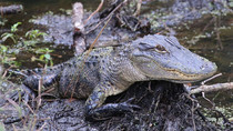Young gator father-in-law photographed in Palm Coast Flx
