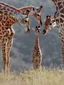 Young Giraffe Inspected by its Adults