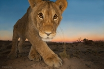 Young Lion and Camera Trap