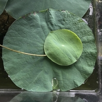 Young lotus leaf resting on a larger one