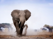 Young male dusting while crossing an open plain at Amboseli southern Kenya Young male African Elephant Loxodonta africana crossing an open plain in southern Kenya  by Billy Dodson