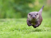 Young otter running toward the camera Photograph by Mark Bridger