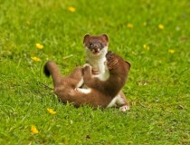 Young stoats playing mustela erminea -