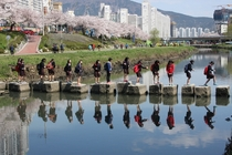 Young students crossing a restored urban stream during the cherry blossom season in Busan South Korea