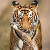 Your death my life A tiger posing with a dead sambar deer fawn in its jaws in Ranthambore National park India