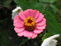 Youth-and-old-age - Zinnia elegans