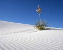 Yucca waves White Sands National Monument New Mexico USA