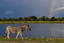 Zebra and rainbow in Namibia