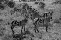Zebra Equus quagga a herd close to a water hole in Mikumi national park Tanzania