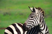 Zebra Photo credit to Sebastian Musial