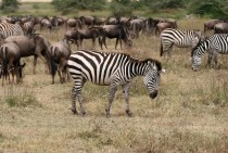 Zebras and Blue Wildebeests in Tanzania