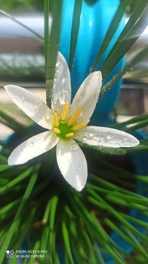 Zephyranthes candida Rain Lily A hardy plant thrives on different soil conditions I am having this plant for nearly three years I hasnt bloomed for past one and half year only after changing to a well draining fertile medium and a good rain I saw this and